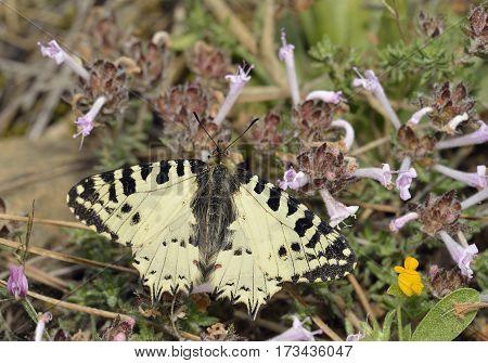 Eastern Festoon Butterfly - Allancastria (Zerynthia) cerisyi Endemic ssp. cypria on Endemic Cyprus Tyne - Thymus integer
