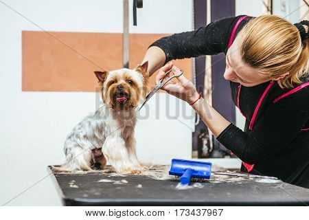 Grooming Yorkshire Terrier professional hairdresser. Hairdresser mows Yorkshire Terrier fur on the ear with a trimmer