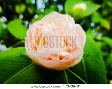 Pink Rose in the beginning of spring season.