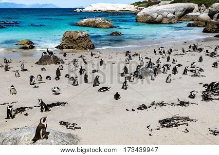 African penguins or Black-footed penguin - Spheniscus demersus - at the Boulders Beach Cape Town South Africa