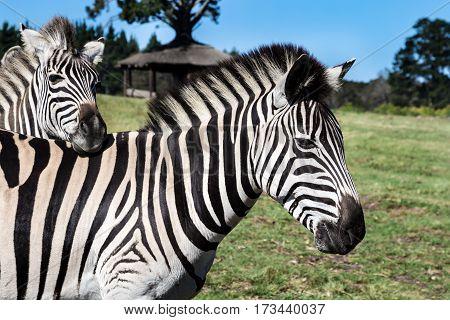 Plains zebra (Equus quagga) or Burchell's Zebra (Equus burchelli) Eastern Cape South Africa