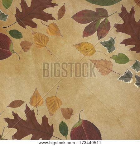 background and frame of true leaves for antique frame transparent, vintage background, sepia and beaten torn cardboard.