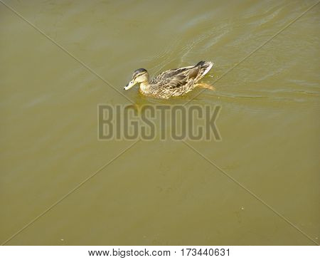 One young duck swims on the river