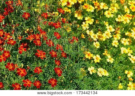 Bright colorful flowers marigolds. Floral background. The top view.