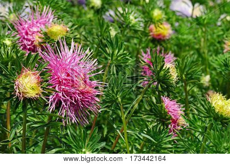 Bright pink asters on a flower bed in the park. Floral background.