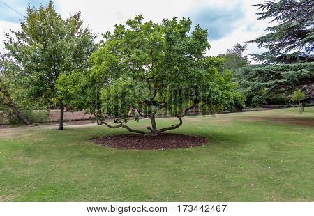 Large Magnolia tree, taken on a bright summer's day and shows the lawn and river in the background.