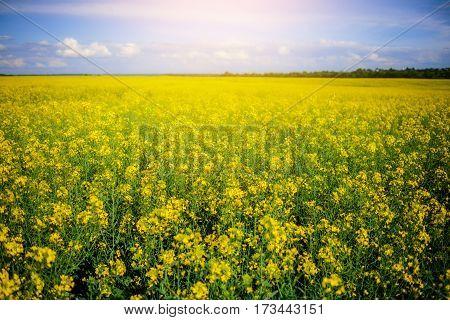 Yellow Oilseed Rape Field Under The Blue Sky
