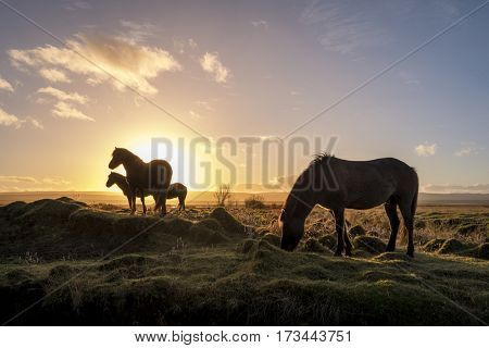 Icelandic horses grazing in the wild as the sun comes up