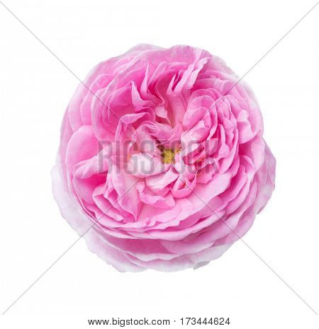 Light pink rose isolated on white. Tea rose