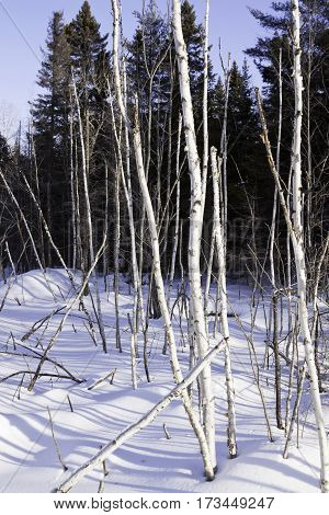 Vertical of a multitude of thin birch trees stalks bare as bones and standing straight at Pabineau Falls near Bathurst, New Brunswick, on a bright sunny day with blue skies and clouds in February.