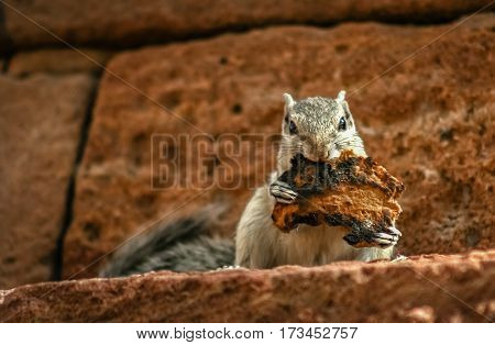 Grey squirrel eating laftovers of a toasted piece of bread sitting on the wall of fort in Jaipur India