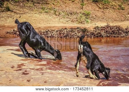 Two thirsty goats drinking water from mountain spring