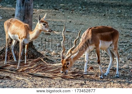 Blackbuck Antelopes in the zoo in Mysore India