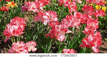 Pink with white Terry Tulips (Tulipa). The Sort Of