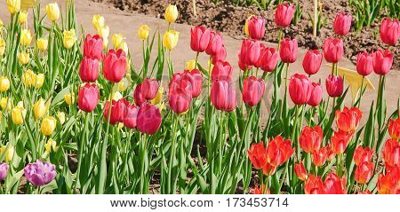 Red, crimson and pale yellow Tulips (Tulipa) in the nursery
