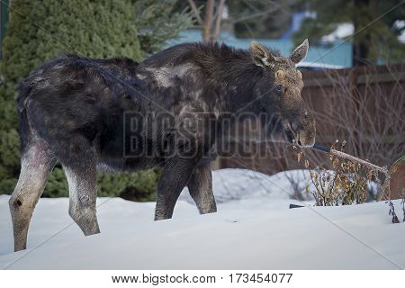 A young moose is found wandering around a town in north Idaho.