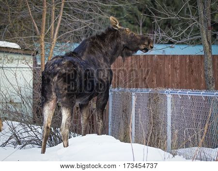 Moose tried finding food in winter in north Idaho.