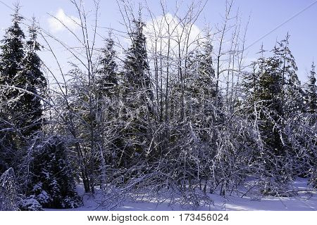 Winter snow scene close up of a row fir trees along the side of the highway to Miramichi, New Brunswick covered in thick glittering ice and snow from a recent ice storm. Shot on a chilly bright blue sky sunny day in February.