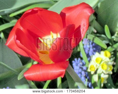 Red tulip in garden in Toronto Canada May 6 2013