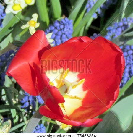 The red tulip in garden in Toronto CanadaMay 6 2013