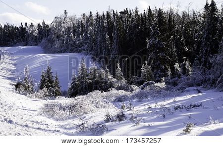 Winter snow scene, close view of a row small bare branches and bushes on a snow covered patch along the highway to Miramichi, New Brunswick, covered in thick glittering ice and snow from a recent ice storm with rows of fir trees in the background. Shot on