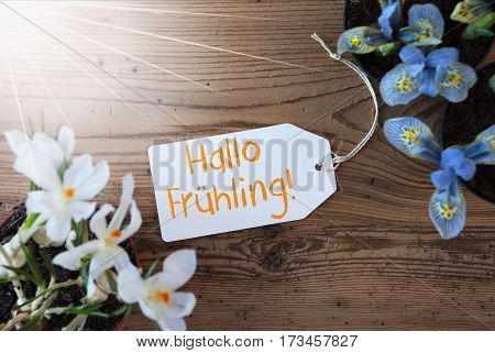 Sunny Label With German Text Hallo Fruehling Means Hello Spring. Spring Flowers Like Grape Hyacinth And Crocus. Aged Wooden Background