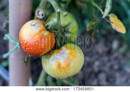 Tomato Plant Disease