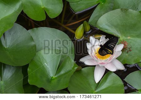 The Golden Birdwing (Troides Aeacus) Butterfly on a Lily Horizontal with Copy Space