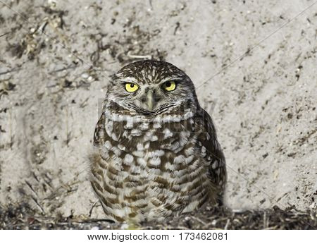 Burrowing Owl in Cape Coral Florida sitting at his nest