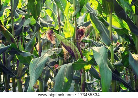 Close Up Corn Plant On Green Field
