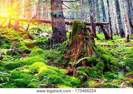 old covered green moss stump in forest