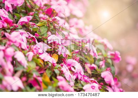 Sweet pink petunia flower bed for background with warm light filter
