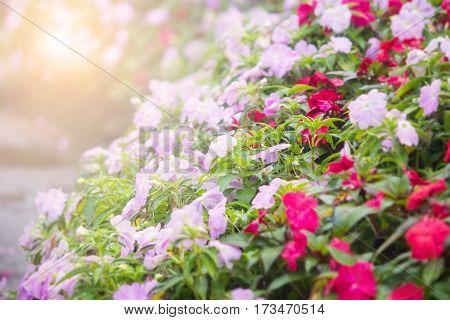 Abstract blur petunia flower in the garden