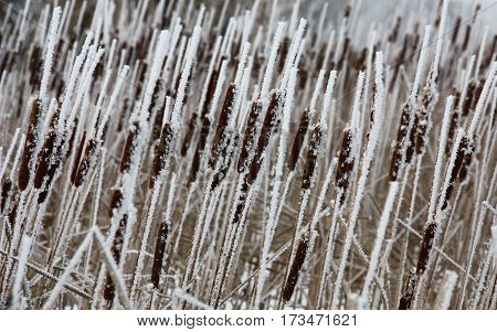 Frequent dry runaways typha are covered on the one hand by hoarfrost.