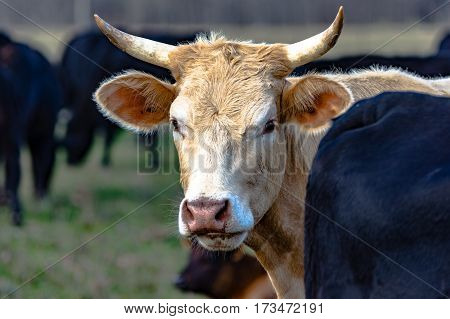 White horned cow looking from behind a black cow with black cows in the background