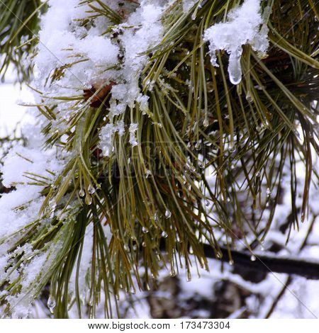 Branches of green spruce in the snow