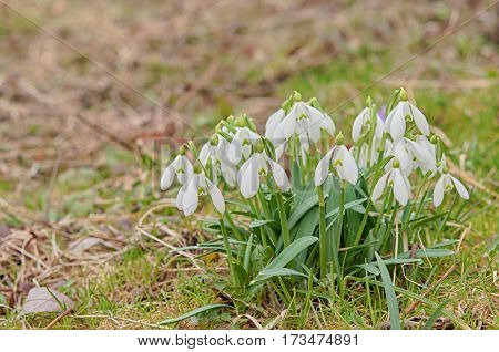 a bunch Snowdrop flower in the forest