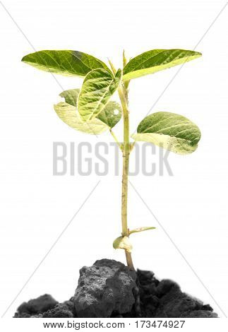 heap dirt with a green soybean sprout isolated on white