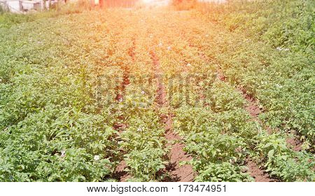 rows of potatoes in field. A close up