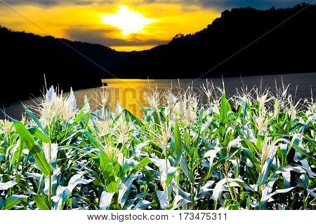 agricultural background life of natural Corn farm