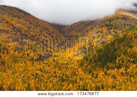 Colorful autumn forest in mountains in the mist, background, closeup