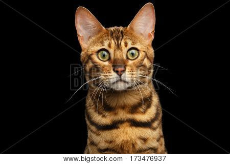Portrait of Young Bengal cat interest staring isolated on Black Background