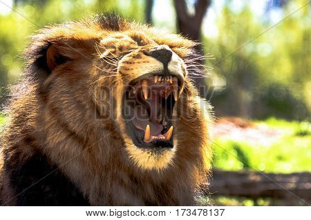 Male African lion Panthera leo with mouth wide open and teeth bared