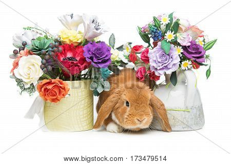 Adorable red domestic lop-eared rabbit with flowers isolated over white background. Copy space.