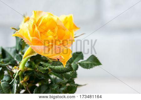 Yellow Mini Rose Bush Isolated On White Background. Gardening, Flowers.