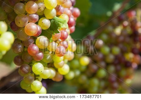 Bunch of grapes on a vine in the sunshine .