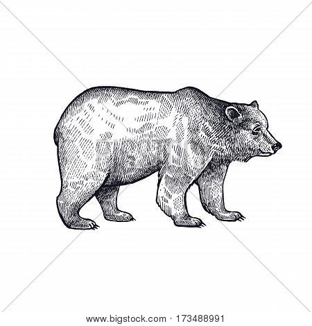 Forest animal bear. Hand drawing sketch black ink isolated on white background. Vector art illustration. Vintage engraving style. Nature objects of Wildlife mammals.