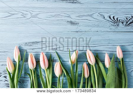 Background with light pink tulips on blue painted wooden planks. Place for text. Top view with copy space.