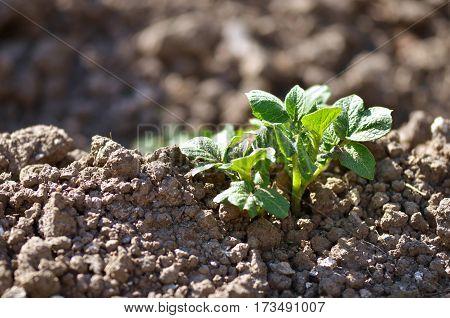 Young potato plant growing on the soil. Potato bush in the garden. Healthy young potato plant in organic garden.