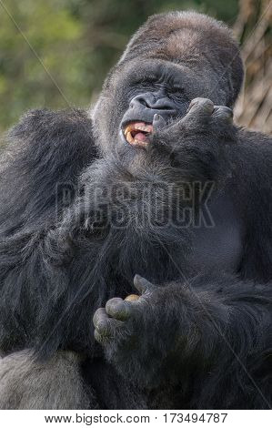 Upright vertical close up portrait of a large silverback gorilla with a funny expression on his face
